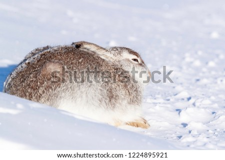 Wild mountain hare sitting on snow in the Scottish highlands national park, the Cairngorms. The hares are native to the British Isle and live on higher ground in the mountains.  #1224895921