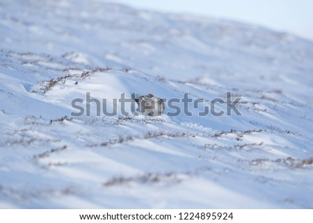 Wild mountain hare sitting on snow in the Scottish highlands national park, the Cairngorms. The hares are native to the British Isle and live on higher ground in the mountains.  #1224895924