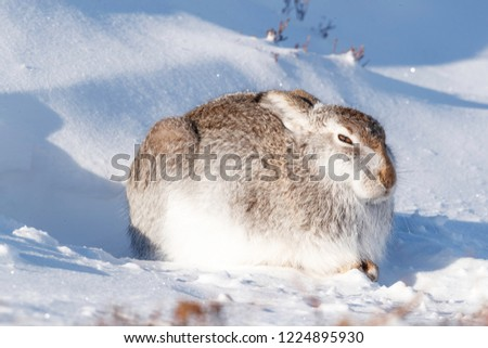 Wild mountain hare sitting on snow in the Scottish highlands national park, the Cairngorms. The hares are native to the British Isle and live on higher ground in the mountains.  #1224895930