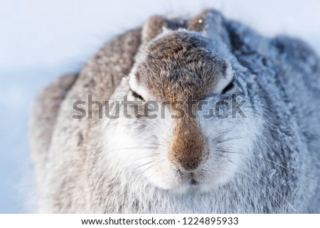 Wild mountain hare sitting on snow in the Scottish highlands national park, the Cairngorms. The hares are native to the British Isle and live on higher ground in the mountains.  #1224895933