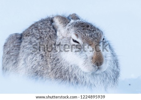 Wild mountain hare sitting on snow in the Scottish highlands national park, the Cairngorms. The hares are native to the British Isle and live on higher ground in the mountains.  #1224895939