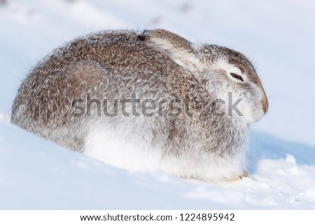 Wild mountain hare sitting on snow in the Scottish highlands national park, the Cairngorms. The hares are native to the British Isle and live on higher ground in the mountains.  #1224895942