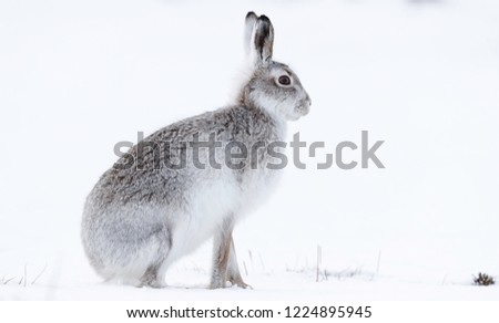 Wild mountain hare sitting on snow in the Scottish highlands national park, the Cairngorms. The hares are native to the British Isle and live on higher ground in the mountains.  #1224895945