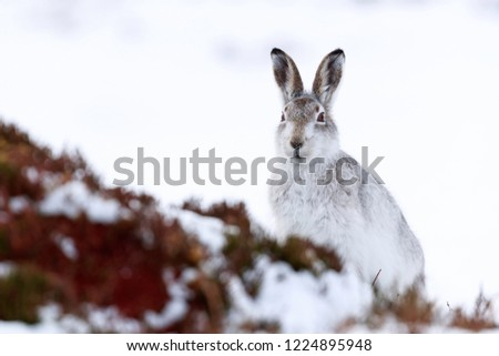 Wild mountain hare sitting on snow in the Scottish highlands national park, the Cairngorms. The hares are native to the British Isle and live on higher ground in the mountains.  #1224895948