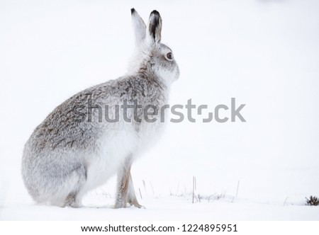 Wild mountain hare sitting on snow in the Scottish highlands national park, the Cairngorms. The hares are native to the British Isle and live on higher ground in the mountains.  #1224895951