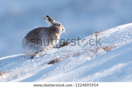 Wild mountain hare sitting on snow in the Scottish highlands national park, the Cairngorms. The hares are native to the British Isle and live on higher ground in the mountains.  #1224895954