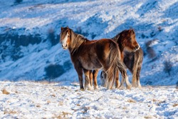 Wild mountain ponies in a cold, snowy, winter landscape (Wales, UK)
