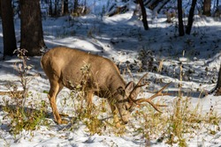 Wild mule deer eating weeds foraging in a snowy forest in winter.