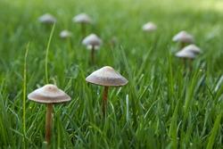 Wild mushroom growing in grass field. Panaeolus subalteatus. Hallucinogenic psilocybin containing mushroom entheogen