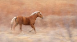 Wild Mustang Horse running in a meadow in Utah on 12-2-2018. The horse blends beautifully with the background and the motion blur gives it a painterly effect.