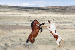 Wild Mustang Horses in a battle