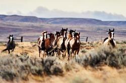 Wild mustang horses running free
