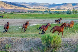 Wild Mustang horses running in a meadow in the Nevada desert.