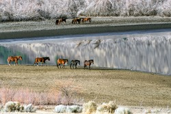 Wild Mustang Horses walking along Washoe Lake in Northern Nevada near Reno.