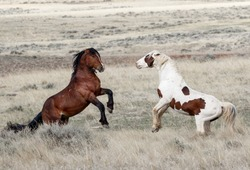 Wild mustang stallions prepare for battle