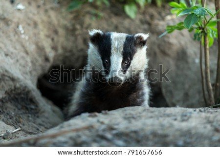 Wild, native badger, Meles Meles emerging from a sett and facing forward.  The badger is one of the most controversial mammals in the UK, yet is a shy, nocturnal forest dweller. #791657656