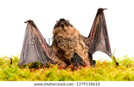 Wild nature. Forelimbs adapted as wings. Mammals naturally capable of true and sustained flight. Bat emit ultrasonic sound to produce echo. Bat detector. Ugly bat. Dummy of wild bat on grass. #1379518610