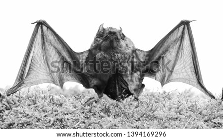 Wild nature. Forelimbs adapted as wings. Mammals naturally capable of true and sustained flight. Bat emit ultrasonic sound to produce echo. Bat detector. Dummy of wild bat on grass. Ugly bat. #1394169296