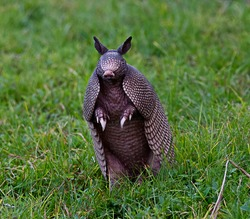 Wild nine-banded armadillo - Dasypus novemcinctus - or the nine banded, long nosed armadillo, is a medium-sized mammal, sitting up with claws exposed, in green grass, curiously looking at camera