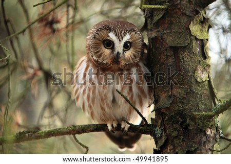 Wild Northern Saw-Whet Owl in Ontario, Canada.