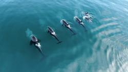 Wild Orcas Whales pod in open water in blue ocean