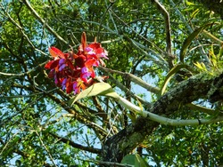Wild orchid. Brazilian wild orchid (Cattleya leopoldii) in nature on southern Brazil.