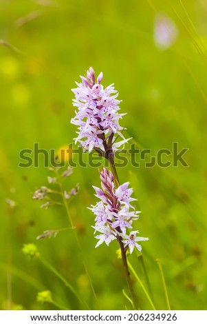 Wild orchids, flowering in a protected area on the Swedish island, Oland.