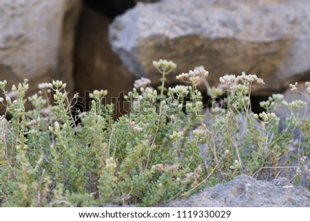 Wild Oregano growing in Crete, Greece, spreading a wonderful scent with its white tiny flowers                             #1119330029