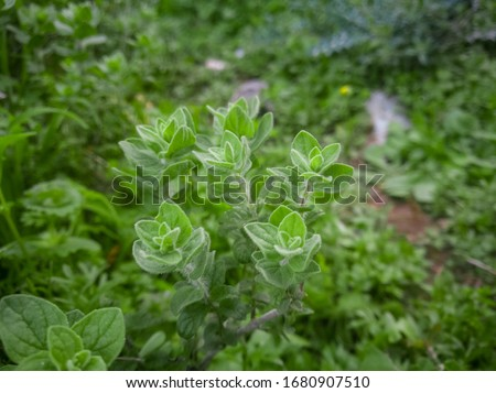 Wild oregano grows in the mountains. Raw green Oregano in field. Greek natural herb oregano. Green and fresh oregano flowers. Aromatic culinary herbs. Stock photo ©