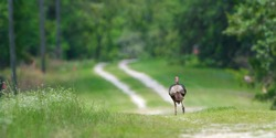 Wild Osceola turkey (Meleagris gallopavo osceola), aka Florida turkey, is a subspecies of wild turkey that only occurs in the Florida peninsula - running away down grassy path - spring wildflowers