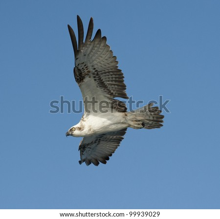 Wild Osprey bird in flight showing details of the claws and wings