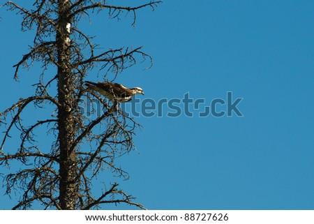 Wild Osprey in a pine tree