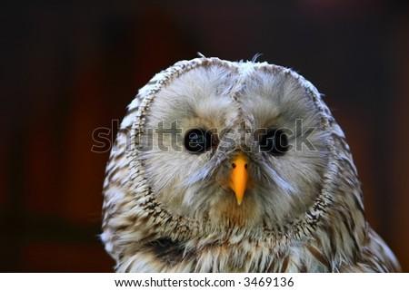 wild owl