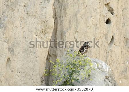 wild owl (Strix bubo)