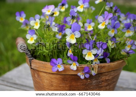 Wild pansy flowers in a rustic basket.
