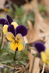 Wild pansy (Viola tricolor), also known as Johnny Jump up.