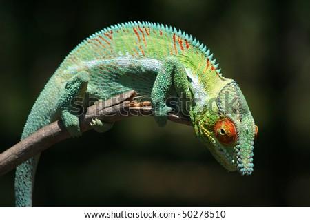 Wild panther chameleon of northwestern Madagascar
