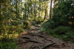 Wild path in forest with roots of the spruce trees on the ground at the nature trail around the lake Purezers in Latvia