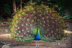 Wild Peacock goes in dark tropical forest with Feathers Out