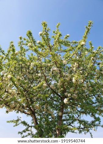 wild pear tree in spring Photo stock ©