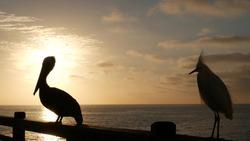 Wild pelican on wooden pier railing, Oceanside boardwalk, California ocean beach, USA wildlife. Big pelecanus, sea water. Egret bird in freedom close up, contrast silhouette at sunset. Large bill beak