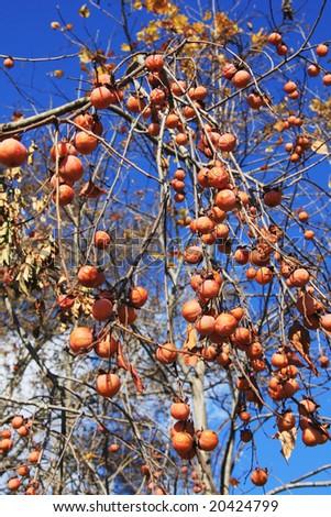 Wild persimmon fruit stock photo 20424799 shutterstock