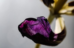 Wild petals and stem of dry faded tulip form vibrant macro composition. Still life fading flower blossom with sad dying beauty.