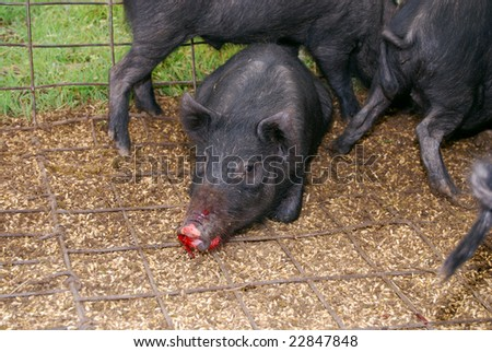 photo : Wild pig in a trap