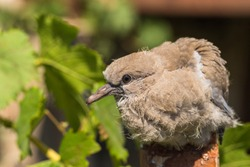 Wild pigeon chick. Eurasian collared dove (Streptopelia decaocto) is a dove species native to Europe and Asia. Streptopelia.