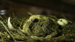 Wild pigeon chick in the nest.