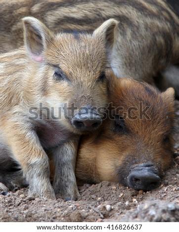 wild piglets sleeping on the ground