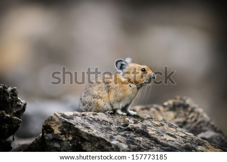 Wild Pika feeding on grass in a talus field, Kananaskis Country Alberta Canada