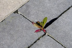 Wild plant growing among paving slabs. Plants in an urban environment. Life force. Plant groving through the pavement. Clump of grass and moss in paving stones.