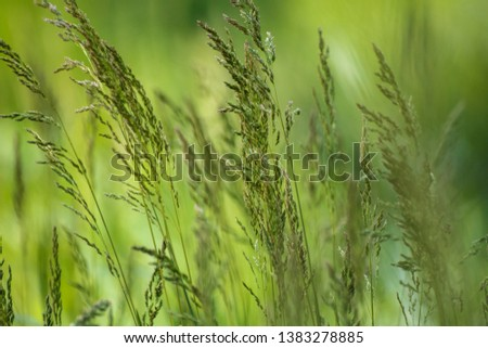 Wild plant on meadow with green grass background, sunny day #1383278885
